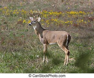 Buck deer - Ten-point buck in the Arkansas Ozarks