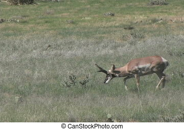Buck Pronghorn Antelope - a big pronghorn antelope buck on...