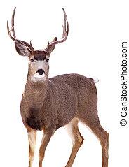 Male Mule Deer in Colorado mountains