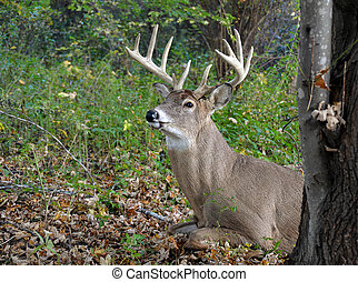buck with antlers in autumn woods