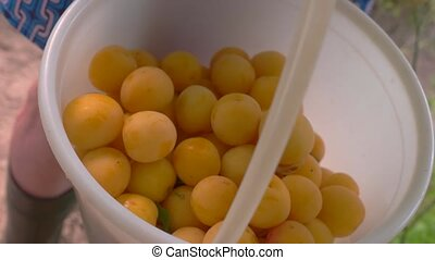 Bucket of cherry plums. Small fruits of yellow color....