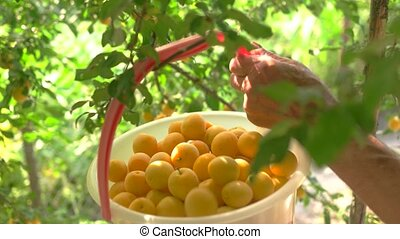Bucket of yellow plums. Tree branches with leaves. Harvest...