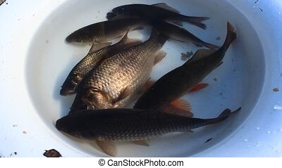 bucket with caught crucians - bucket with a lot of caught...