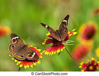 Buckeye butterflies, Junonia coenia