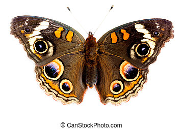Buckeye Butterfly isolated on white