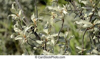 buckthorn bush