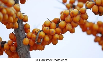 buckthorn tree branch with yellow nature berries - buckthorn...