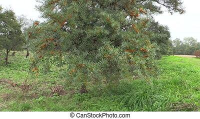 buckthorn tree park