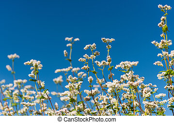 buckwheat flower on the field