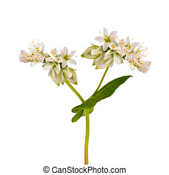 Buckwheat  flowers isolated on white background