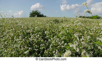 Buckwheat in a field