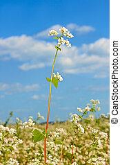 Buckwheat inflorescence above field
