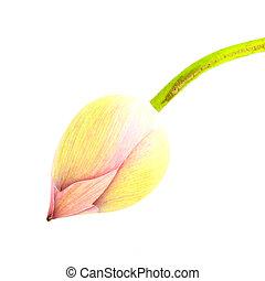 Bud lotus on white