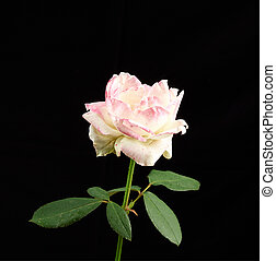 bud of a blooming pink rose with green leaves on a black background