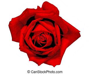 bud of beautiful red rose