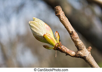 Bud of horse chestnut tree - Early spring bud of the...