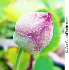 Bud of Lotus Flower