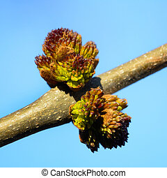 bud on a tree that blooms in spring