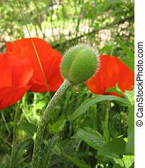 Bud red poppy with a drop of dew