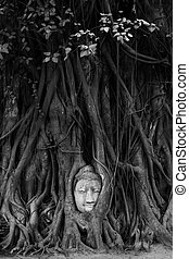 Buddha head in tree roots - Black and white picture of...