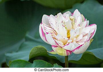 buddha lotus flower bloom