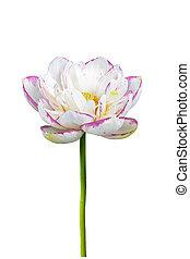 buddha lotus flower isolated