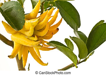citron Buddha's hand on a branch on a white background