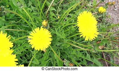 budding, flor, amarela, chão
