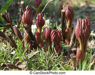 budding spring flowers
