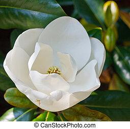 Budding White Magnolia Bloom in Tree - A white magnolia...