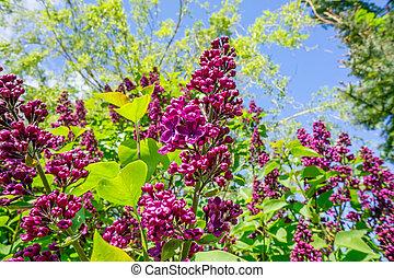 Buddleja bush in a garden