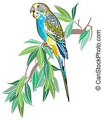 budgerigar australian parakeet isolated on white background