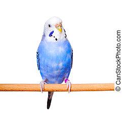 budgerigar, fundo branco