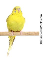 budgerigar, gul, det sidder, branch