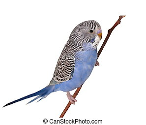 budgerigar on branch isolated