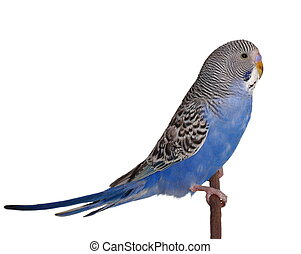 budgerigar on branch isolated on white background