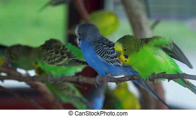 Budgerigar or Melopsittacus undulatus or budgie or parakeet...