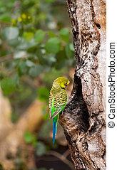 budgerigar, papegaai, dichtbij, de, nest