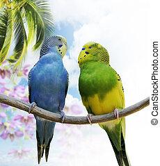 Budgerigar Parrots