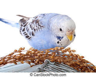 budgerigar with birdseed on cage