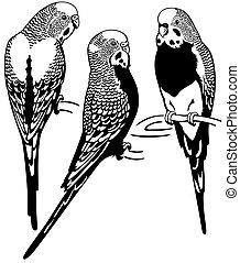 budgerigars australian parakeets, black and white image