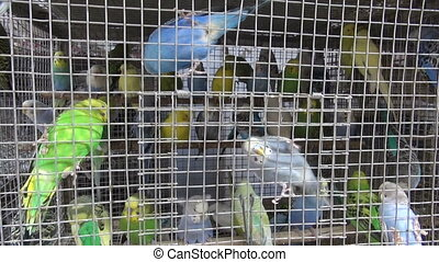 Budgerigars in cage - Many budgerigars in small cage in Asia...