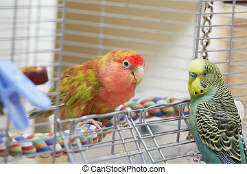 Budgie and lovebird parrots.