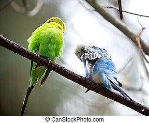 budgie, cute, liden, fugl