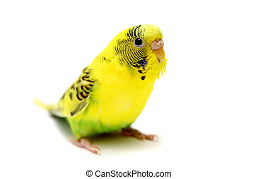 Budgie female on white - Budgie female isolated on the white...