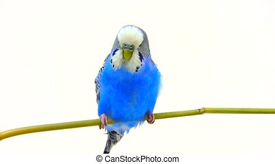 budgie isolated on white screen
