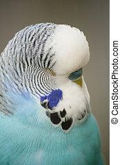 budgie/parakeet
