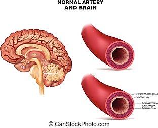 budowa, arteria, mózg, normalny