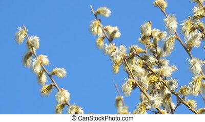 buds, синий, ветви, ива, пушистый, небо, против