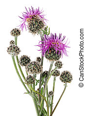 Buds and flowers of a prickly field plant Thistle in the initial stage of summer vegetation